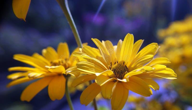 Цветки ноготк стоковое изображение rf