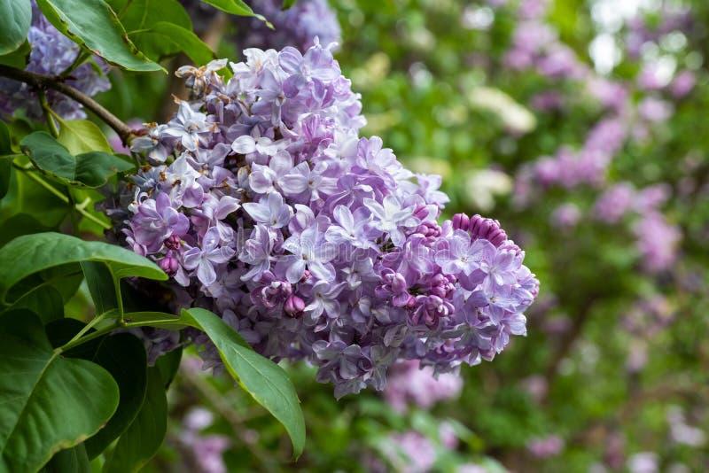 Цветки общей сирени Marechal Lannes Syringa Vulgaris стоковые изображения rf