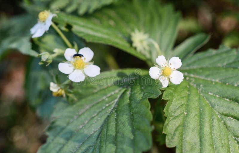 Цветки одичалых клубник стоковые фотографии rf