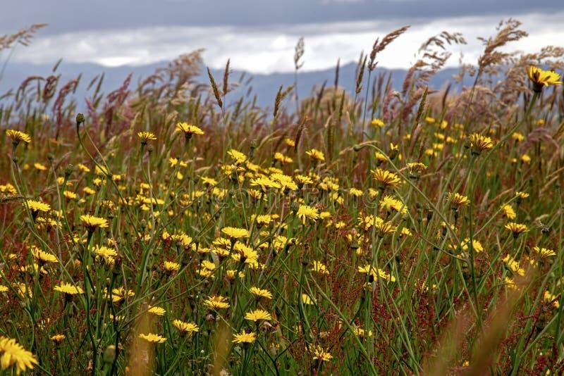 Цветки одуванчика растут среди травы стоковые фото