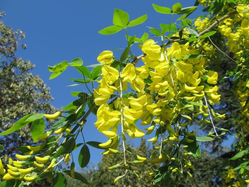 цветки дождя ангиопластики bobovnik золотого стоковая фотография rf