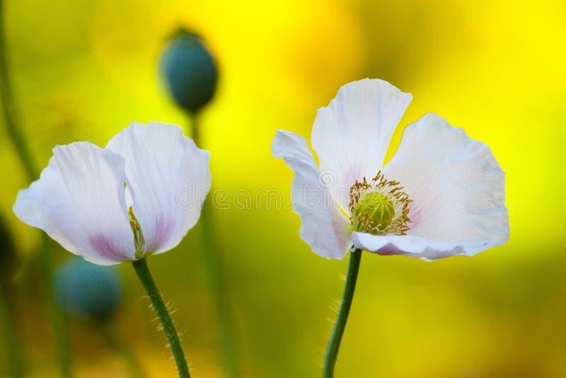 Цветки опиумного мака стоковое фото rf