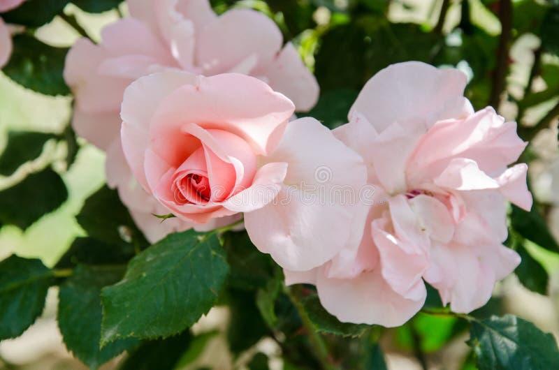 Цветки определяют красную розу стоковые изображения