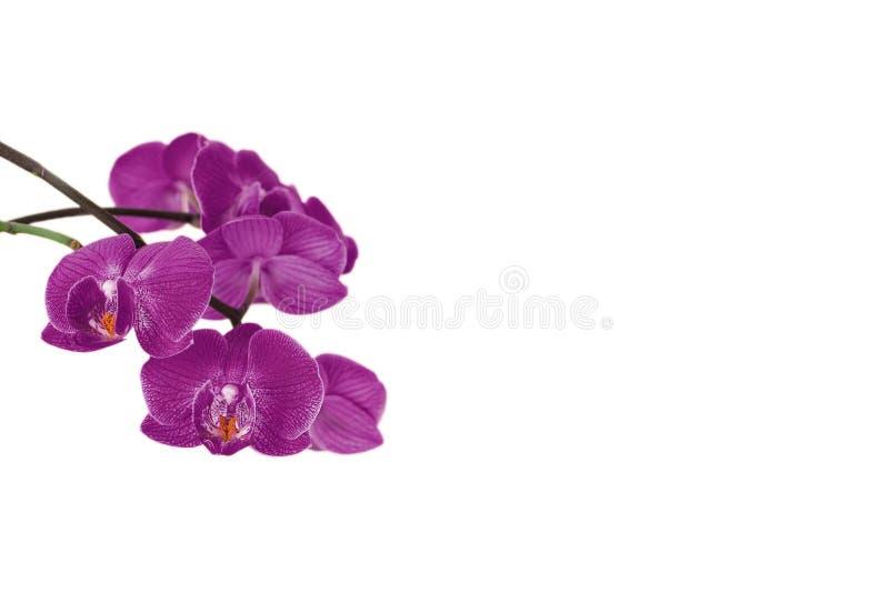 Цветки орхидеи изолированные на белой предпосылке иллюстрация вектора
