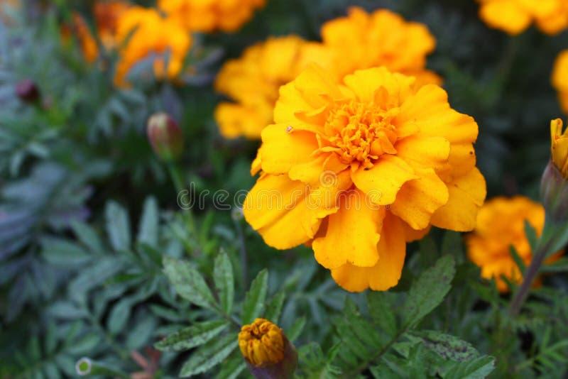 Цветки осени горячие желтые стоковое изображение