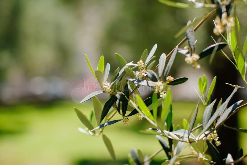 Цветки оливкового дерева стоковое фото