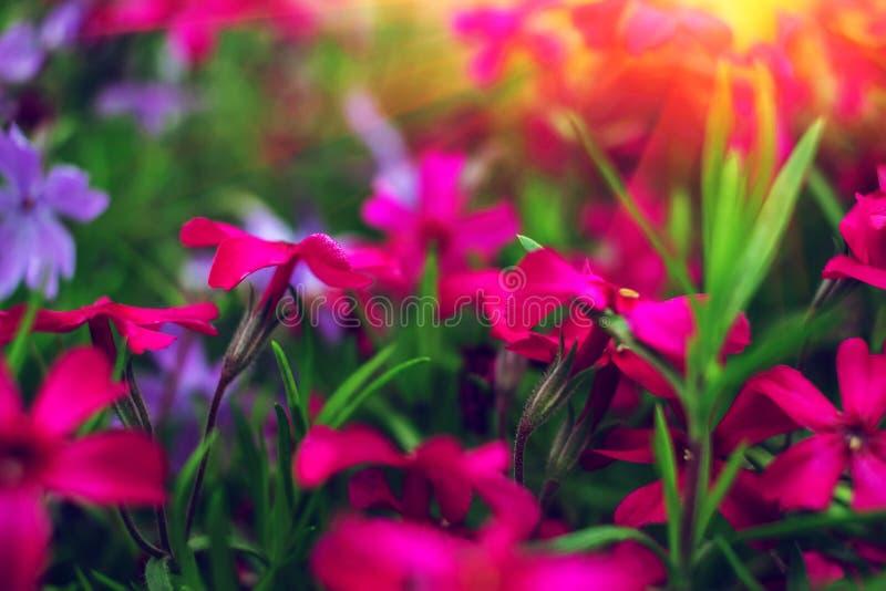 Цветки одичалого пинка и пурпура на заходе солнца стоковые изображения