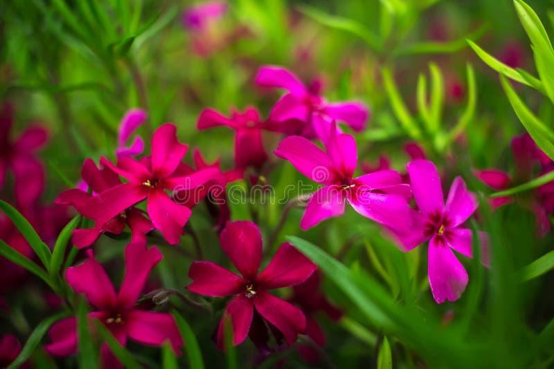 Цветки одичалого пинка и пурпура на зеленой траве стоковое фото rf