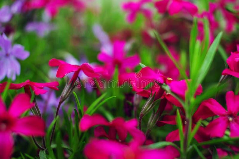 Цветки одичалого пинка и пурпура стоковые фотографии rf