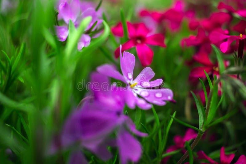 Цветки одичалого пинка и пурпура стоковая фотография