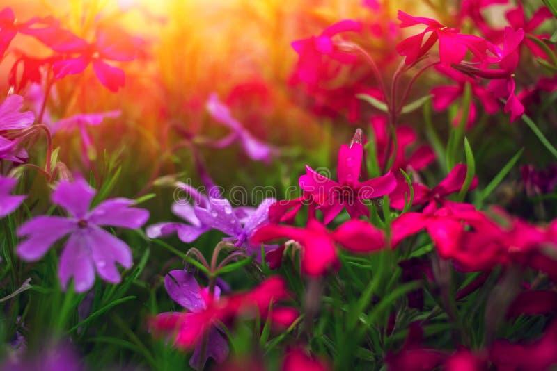 Цветки одичалого пинка на заходе солнца стоковое фото