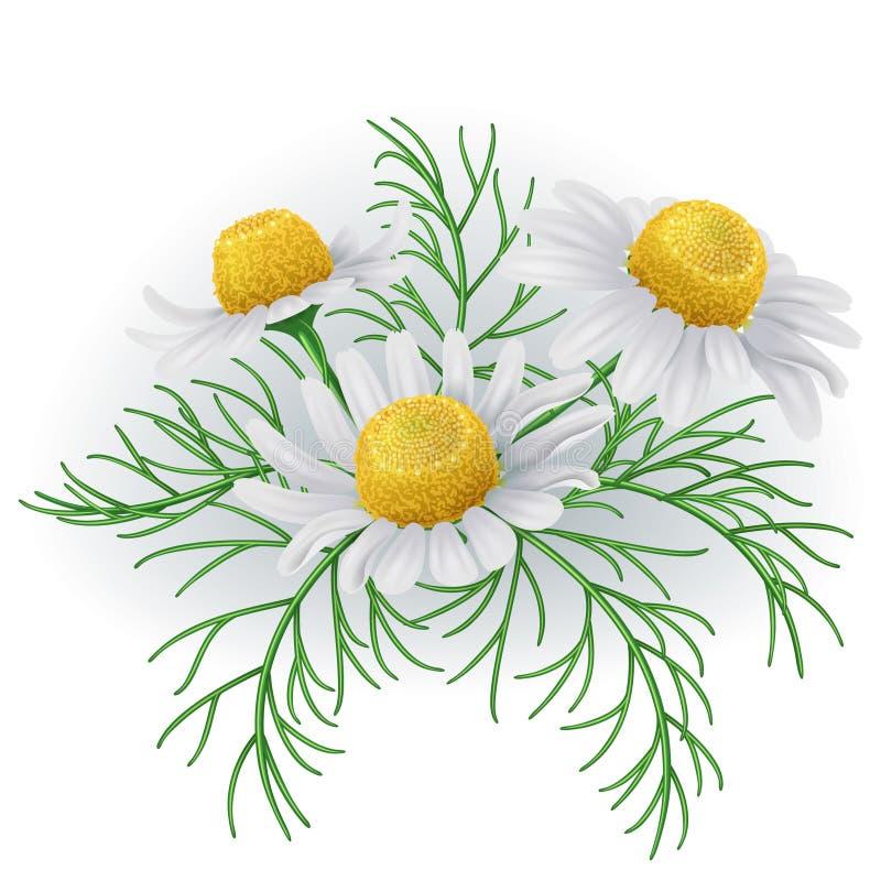 Цветки одичалого стоцвета иллюстрация вектора