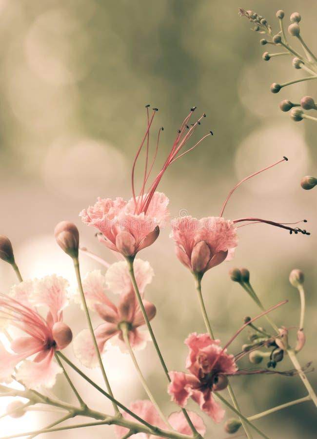 Цветки павлина стоковое изображение rf