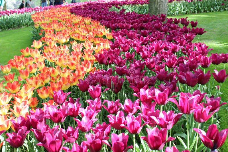 Цветки парка keukenhof стоковое фото rf