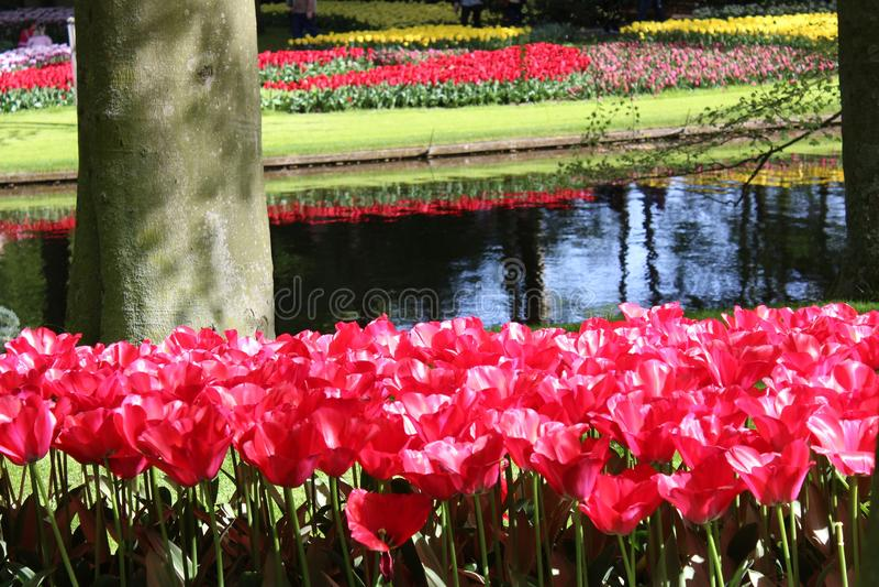 Цветки парка keukenhof стоковые изображения rf