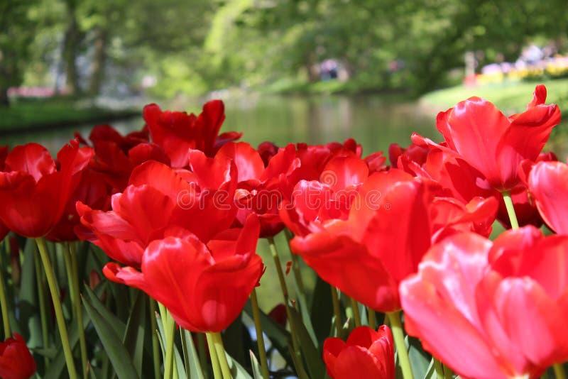 Цветки парка keukenhof стоковые изображения