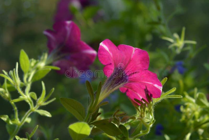 Цветки петуньи крупного плана повернутые к солнцу стоковые изображения
