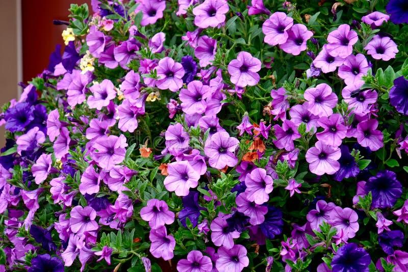 Цветки петуньи на деревянном крылечке стоковое изображение rf