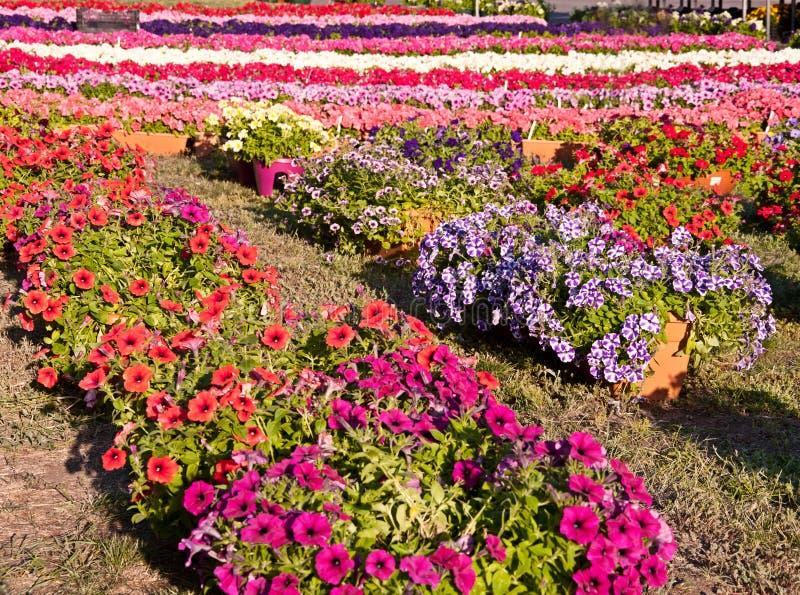 Download Цветки петуньи стоковое изображение. изображение насчитывающей сад - 41663419