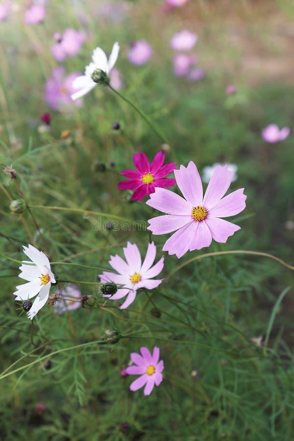 Цветки пинка и белых cosme в саде стоковые фотографии rf