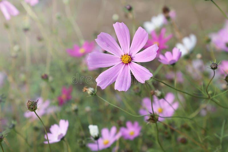 Цветки пинка и белых cosme в саде стоковая фотография rf