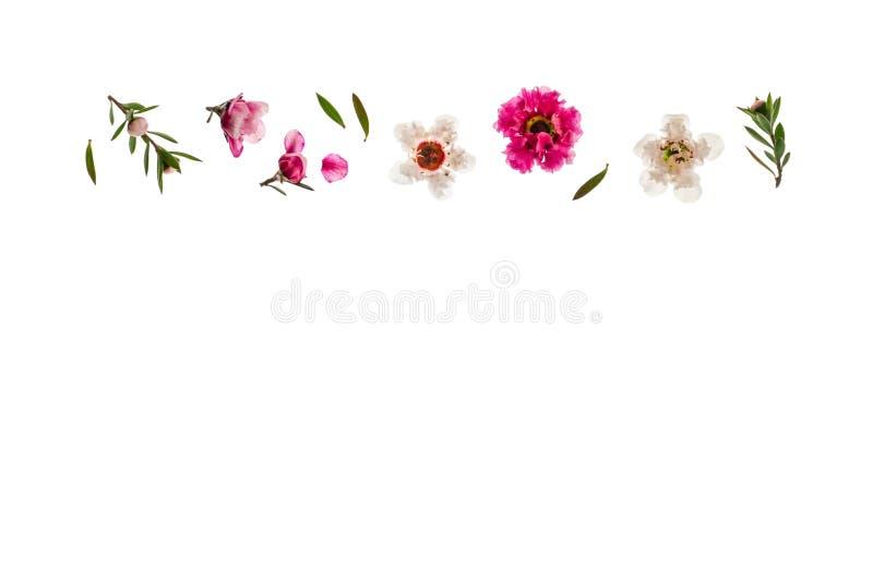 цветки пинка и белых manuka с космосом экземпляра ниже стоковое фото