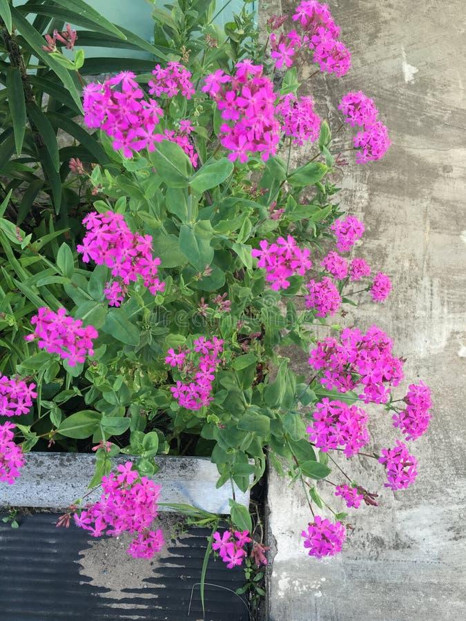 Цветки пинка Armeria Silene стоковые фотографии rf
