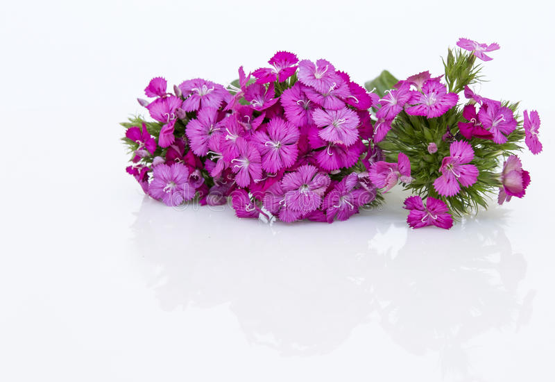 цветки пинка barbatus ianthus (сладостного Вильяма) изолированные на белизне стоковая фотография rf