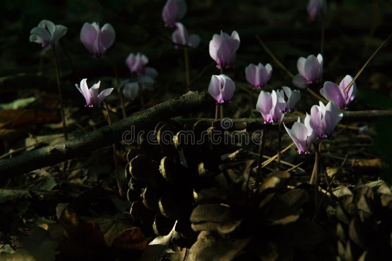 Цветки пинка cyclamen Beuatiful волшебные в ноче стоковое фото rf