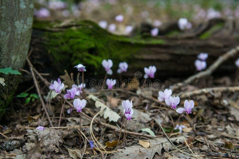 Цветки пинка cyclamen Beuatiful волшебные стоковая фотография rf