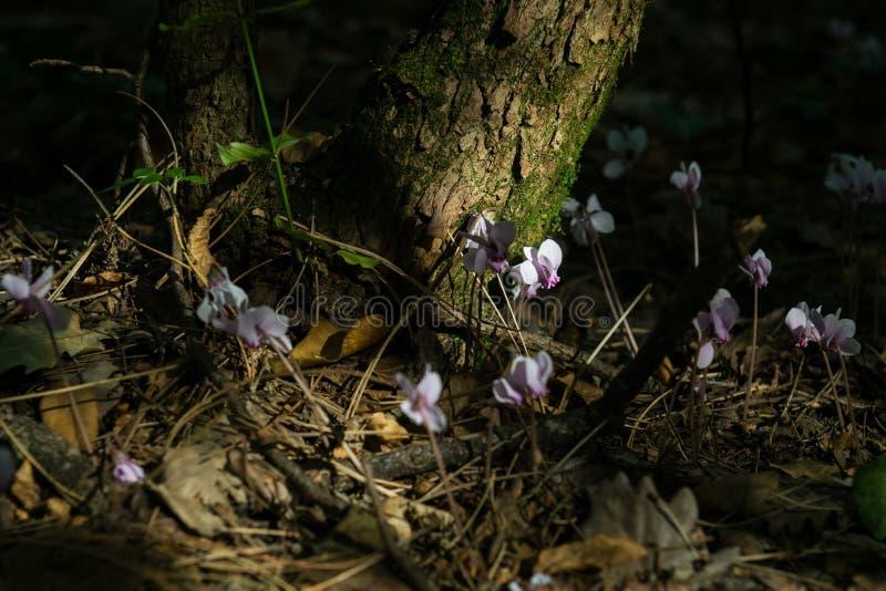 Цветки пинка cyclamen Beuatiful волшебные стоковая фотография