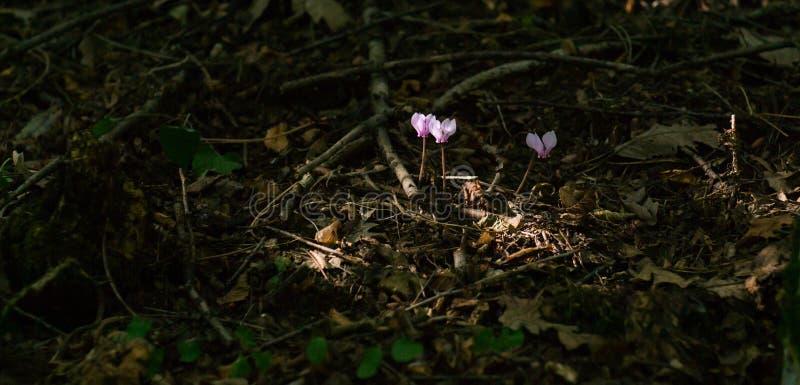Цветки пинка cyclamen Beuatiful волшебные стоковые изображения
