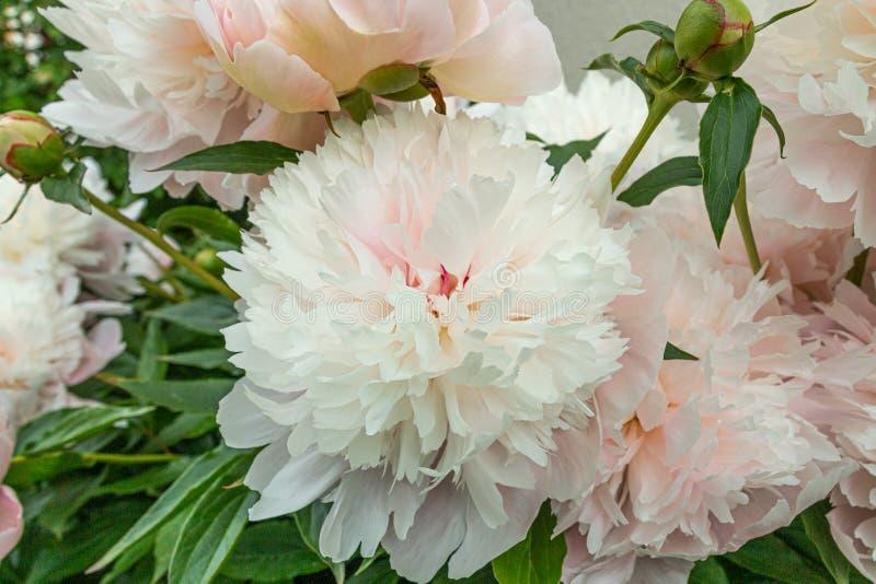 Цветки пиона весны в саде стоковые изображения rf