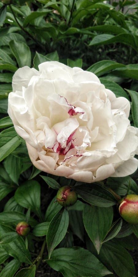 Цветки пиона в белизне стоковая фотография