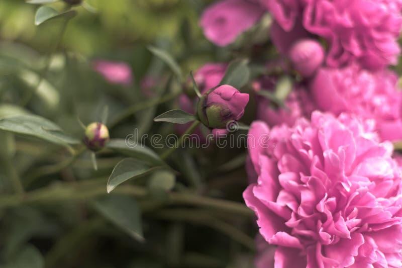Цветки пиона лета стоковое фото rf