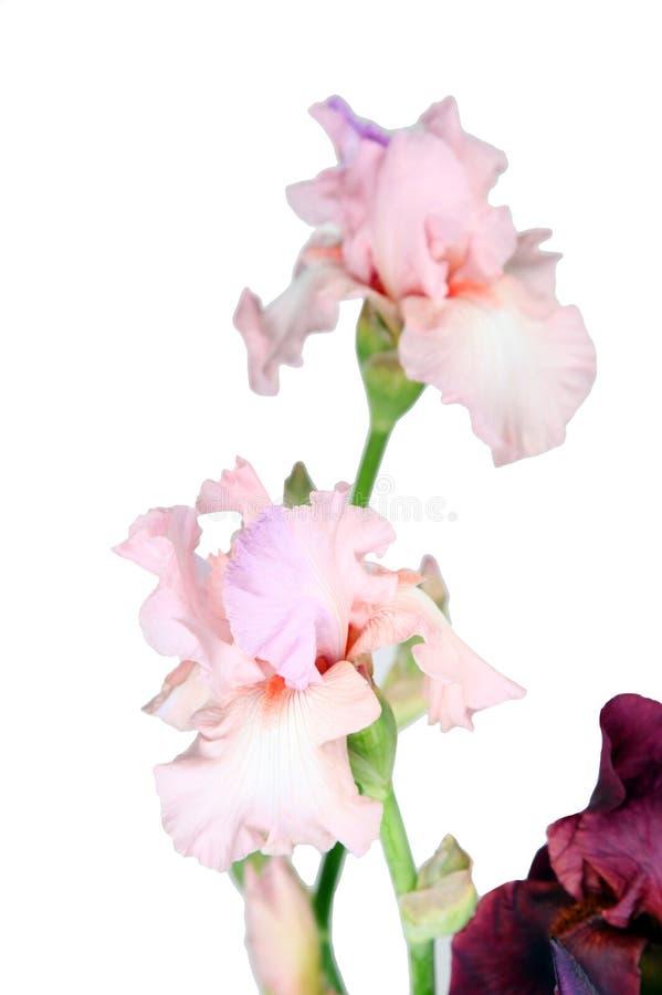Цветки пиона на белизне стоковое изображение