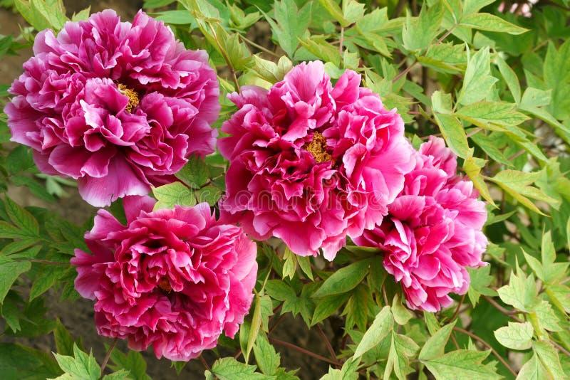 Цветки пиона стоковое изображение