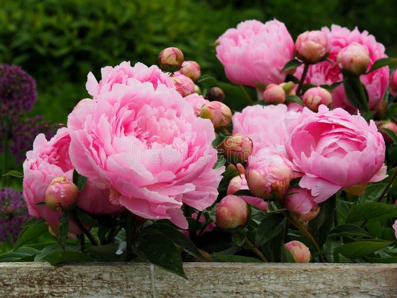Цветки пиона стоковое фото rf