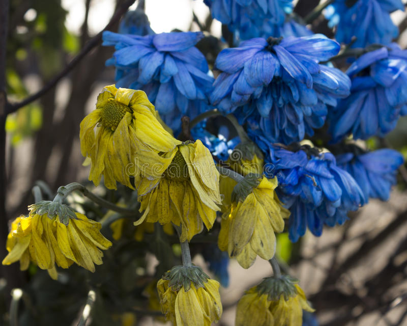Цветки покрашенные как украинский флаг стоковые изображения rf