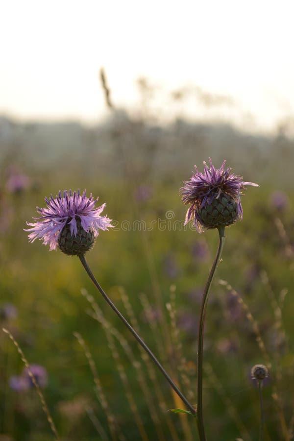 Цветки поля в России стоковое фото