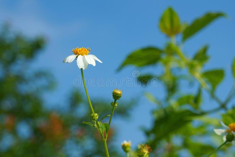 Цветки против яркого голубого неба, pilosa Bidens стоковое изображение rf