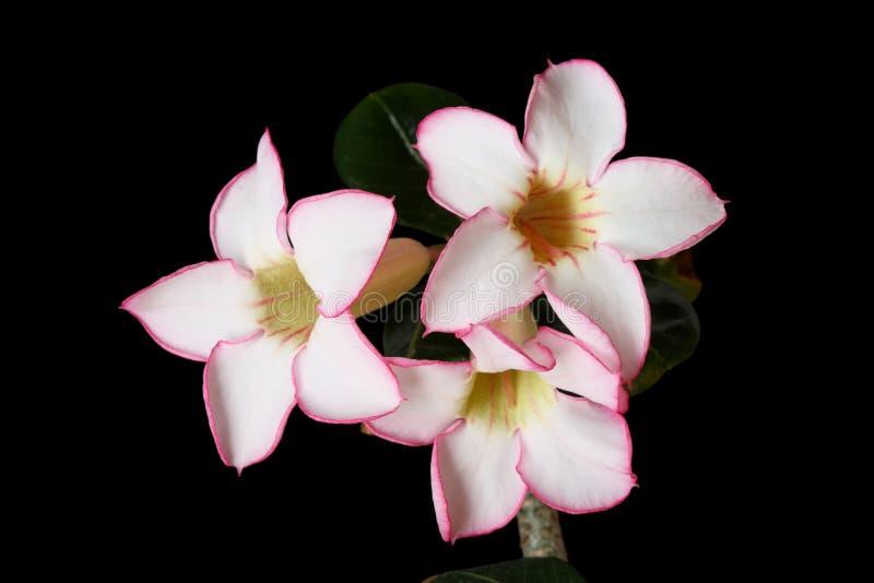 цветки пустыни подняли стоковые изображения rf