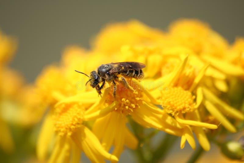 цветки пчелы опыляя стоковые изображения