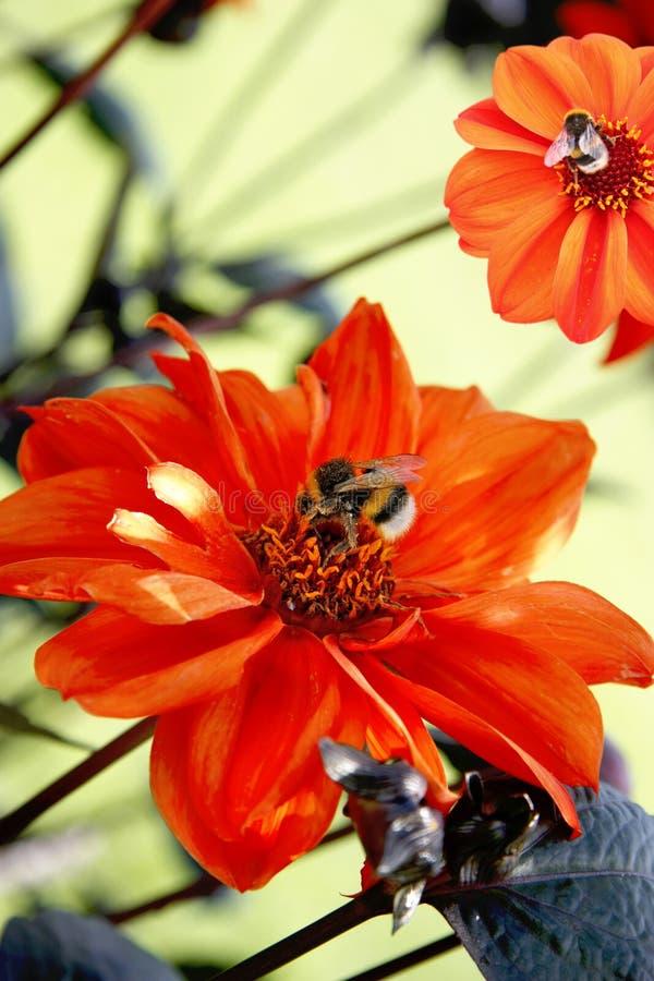 цветки пчел опыляя стоковое фото