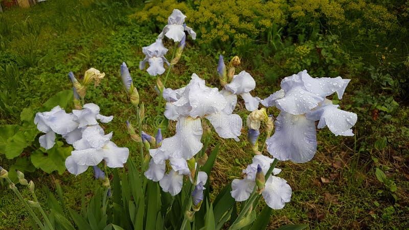 Цветки радужек после дождя стоковое изображение rf