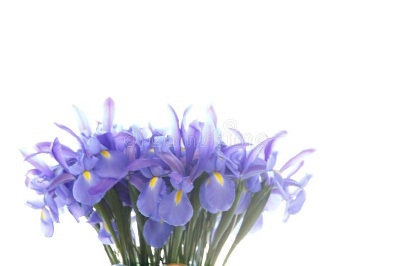 Цветки радужки группы пурпурные изолированные на белизне стоковое изображение rf