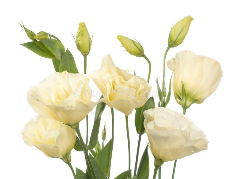 цветки разделяют изолированную бледную белизну стоковое фото rf