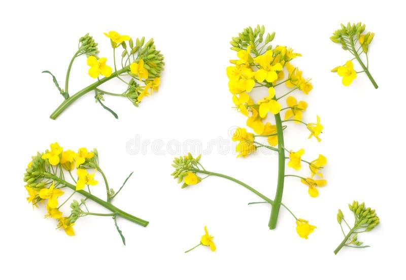 Цветки рапса изолированные на белой предпосылке стоковое изображение rf