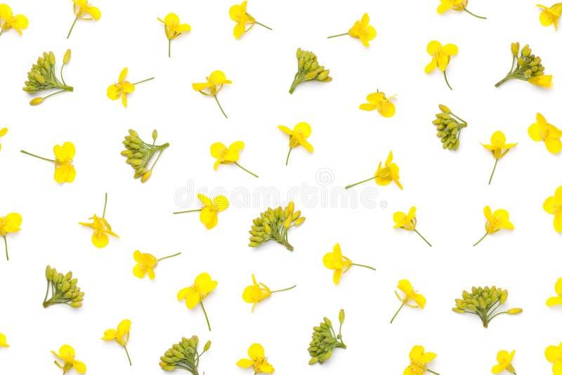 Цветки рапса изолированные на белой предпосылке стоковые изображения rf