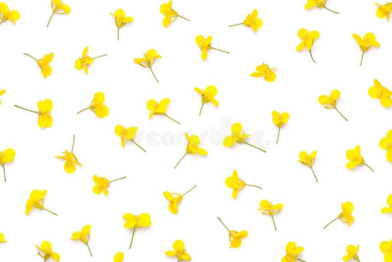 Цветки рапса изолированные на белой предпосылке стоковое фото